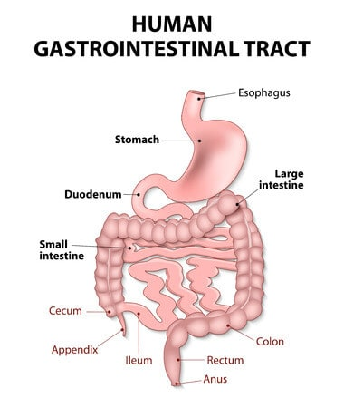The Stomach and Its Role in Digestion - Renew Bariatrics